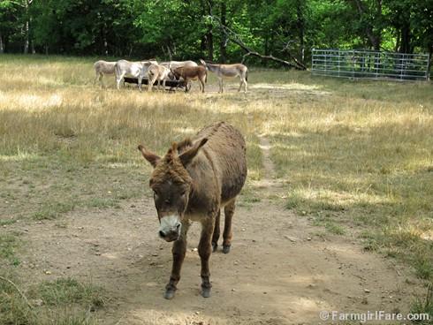 Donkey Doodle Dandy takes a dust bath (5) - FarmgirlFare.com