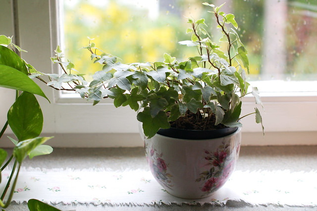Home Comforts: Ivy greenery