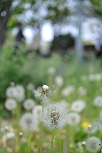 Dandelion with seeds in Nagoya castle.