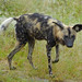 Small photo of African Wild Dog (Lycaon pictus) under the rain