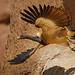 """Long-billed"""" Vulture"""