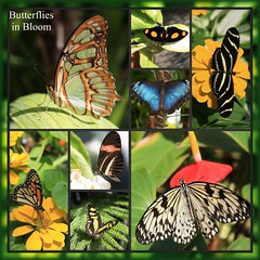 butterflies in bloom