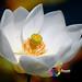 Lotus Putih