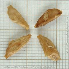 Abies nobilis 'Molleskoven' seeds - Jodła szlachetna nasiona