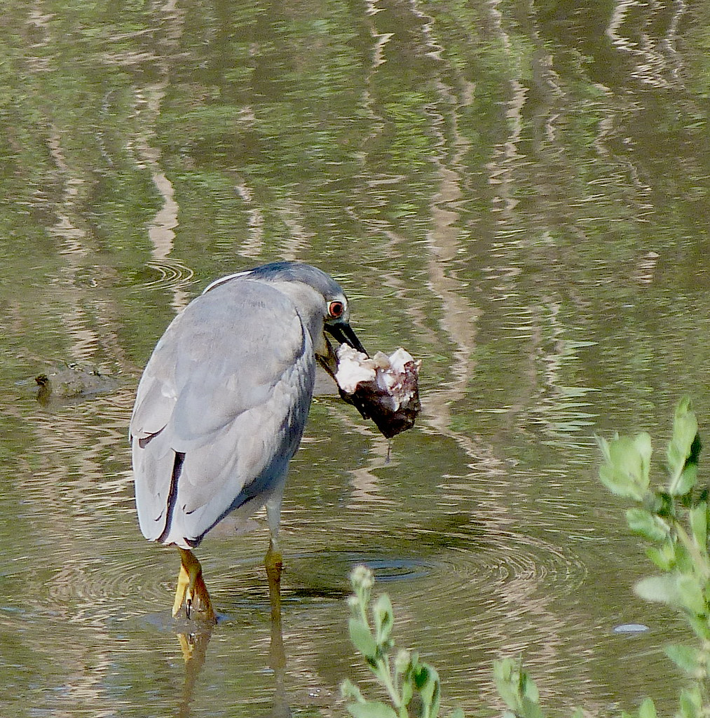 13-04-2012-night-heron-breakfast2