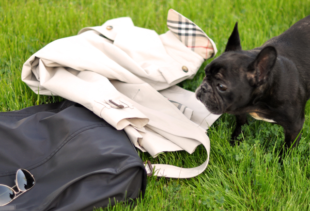 french bulldog-burberry bag and coat