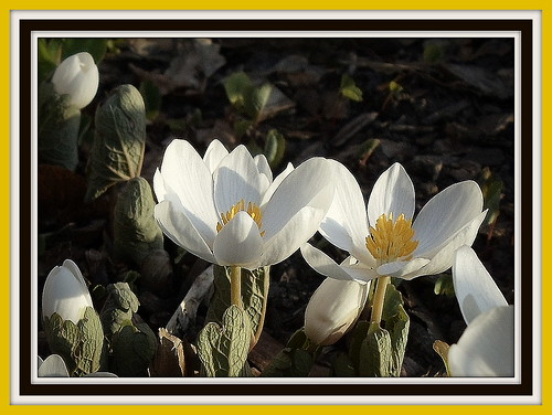 EVENING BLOODROOT SHADOWS