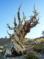 California - Ancient Bristlecone Pine Forest