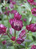 Astrantia major 'Hadspen Blood'