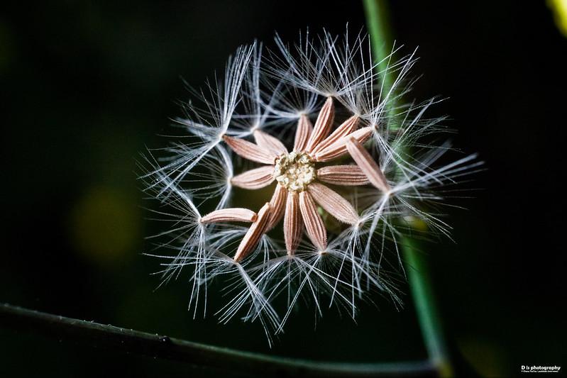 [explore] [macro] dandelion
