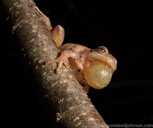 spring peeper in tree, tomahawk pond, virginia