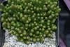 Sedum sexangulare, Six-sided Stonecrop