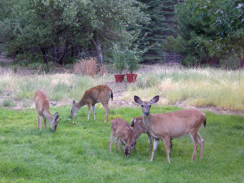 deer family + wide tomato fence