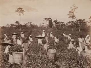 Plucking the Tea, Ceylon