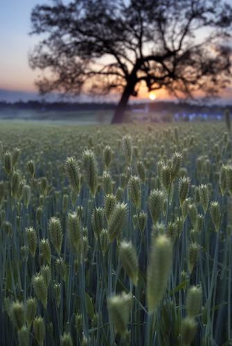 sunset field photography virginia wheat oaktree blacksburg swva brettmaurer
