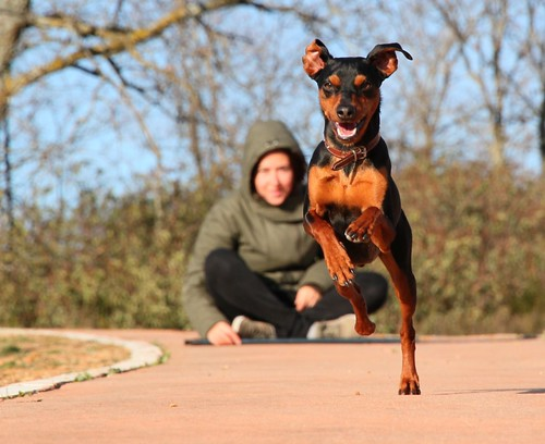 Speeding Pinscher