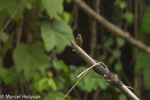 africanpiculet cameroon sanagariver sasiaafricana birds woodpeckers littoral