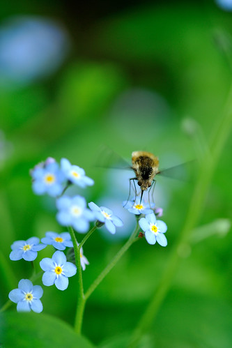 Forget-me-not with a bee by myu-myu
