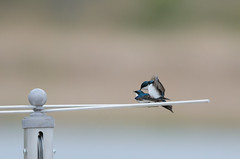 Swallows Doing It-7702.jpg by Mully410 * Images