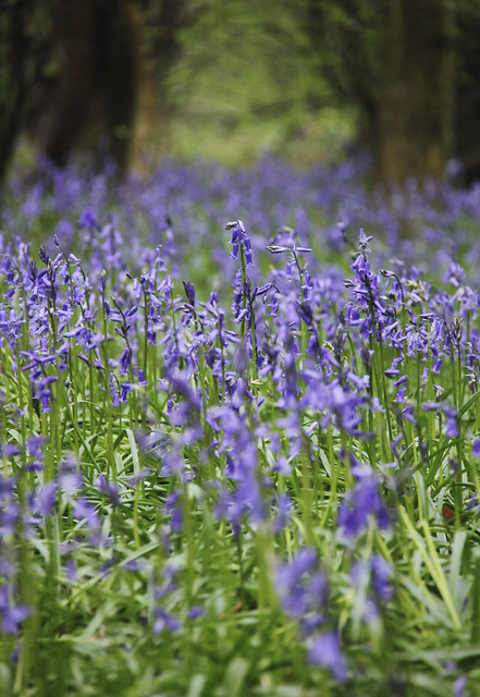 Bluebell walk