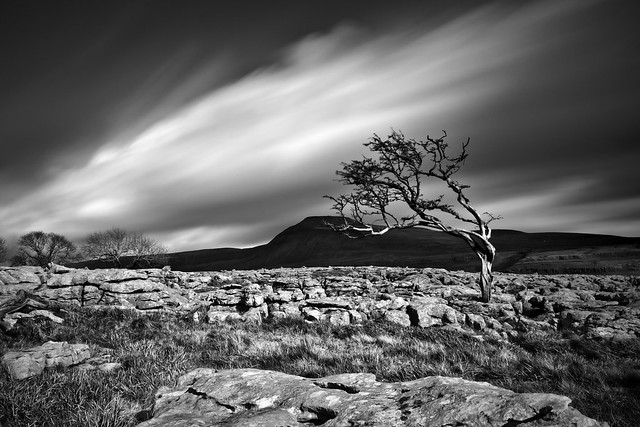 Twistleton Tree and Ingleborough