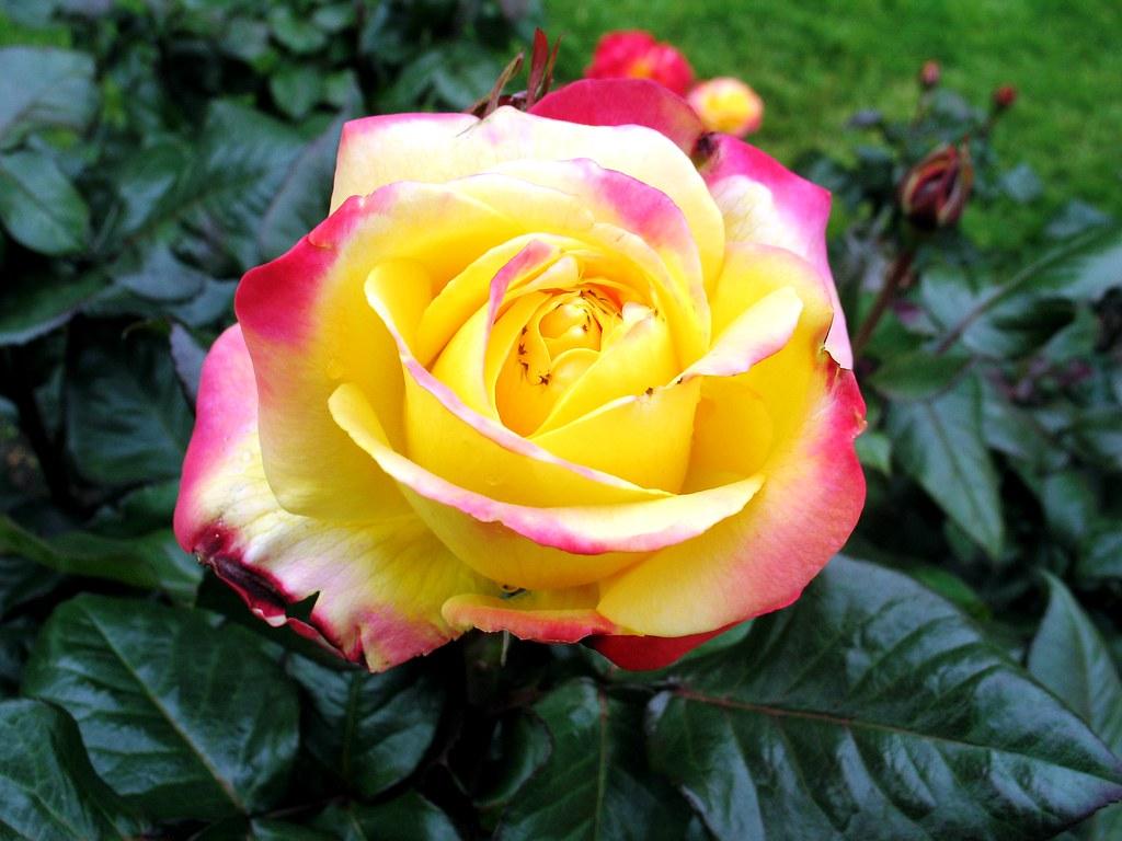 Photo essay portland international city of roses - International rose test garden portland ...