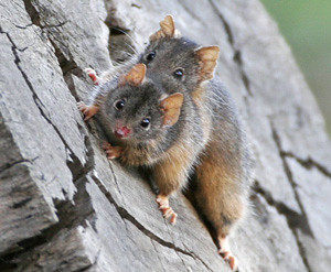 Antechinus Pair Neville Bartlett