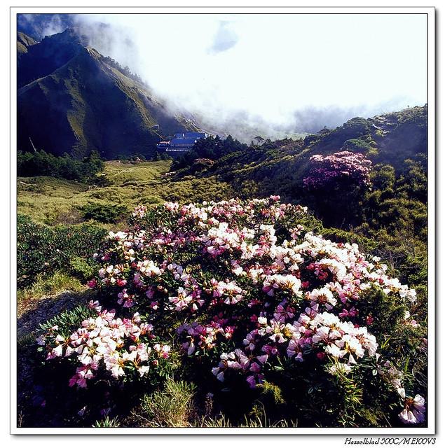 5月 合歡山東峰上的杜鵑 ~~ (銀鹽)