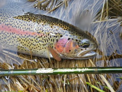 McCloud River Redband Rainbow