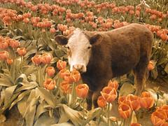 Bad tulip impersonation