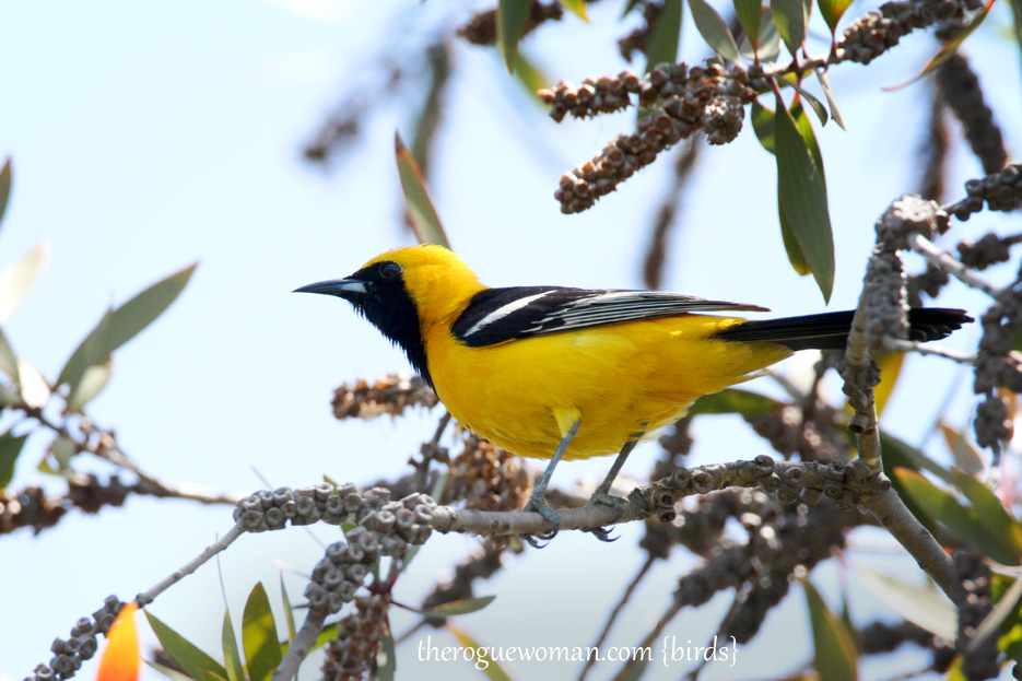 051412_06kenMallory_oriole