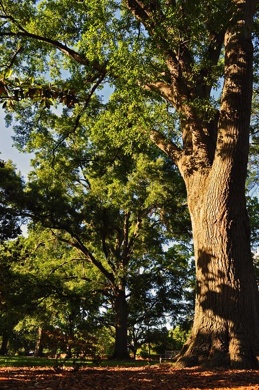 Quercus phellos (9)
