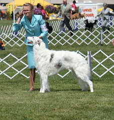 dog sports, animal sports, animal, silken windhound, dog, sighthound, sports, pet, mammal, conformation show, borzoi,