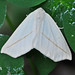 Small photo of White Slant-Line Moth (Tetracis cachexiata)