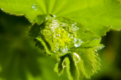 Alchemilla mollis after rain