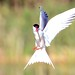 Common tern by r3dd0