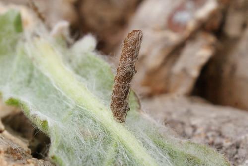 Coleophora conyzae larval case on Fleabane