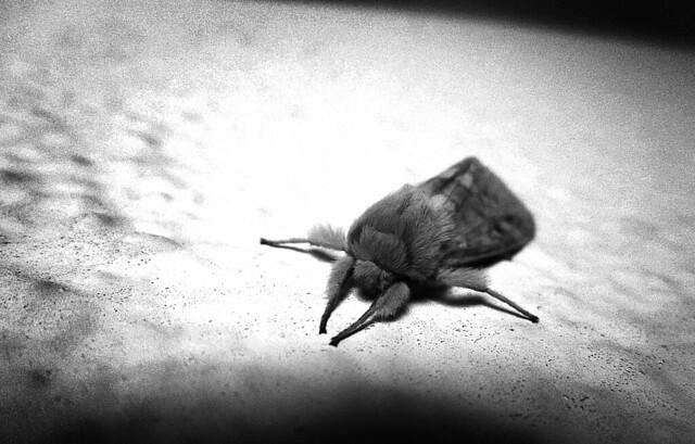 furry moth (2012)