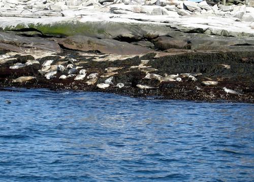 Harbor Seals - Mount Desert Rock