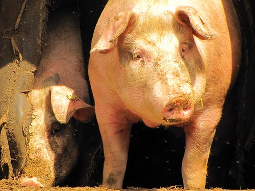 XXL-Schwein