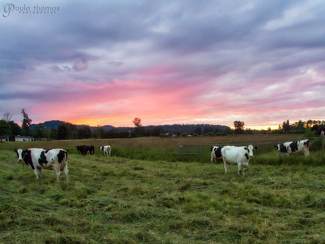 Moo Cows at Sunset