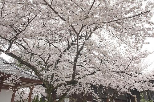 【写真】2014 桜 : 知恩寺/2020-11-13/IMGP5716