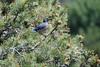 Western Scrub Jay, Sedona, AZ