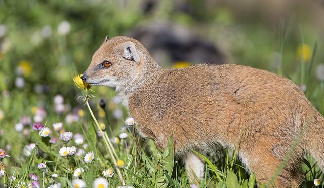 Profile of a yellow mongoose