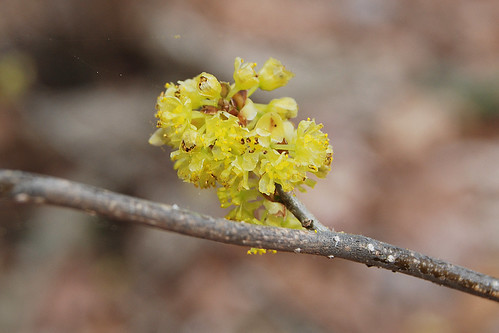 Picture of flowers of Spicebush, Lindera benzoin, a shrub that grows in the Missouri Ozarks.