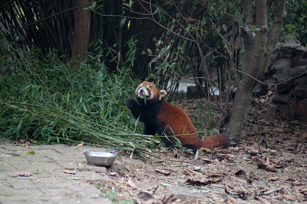 Red_Panda_Eating_Chengdu_Sichuan_China2