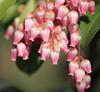 Photo:Japanese andromeda / Pieris japonica / 馬酔木(アセビ) By TANAKA Juuyoh (田中十洋)