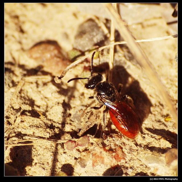 Sphecodes sp. (Family Halictidae)