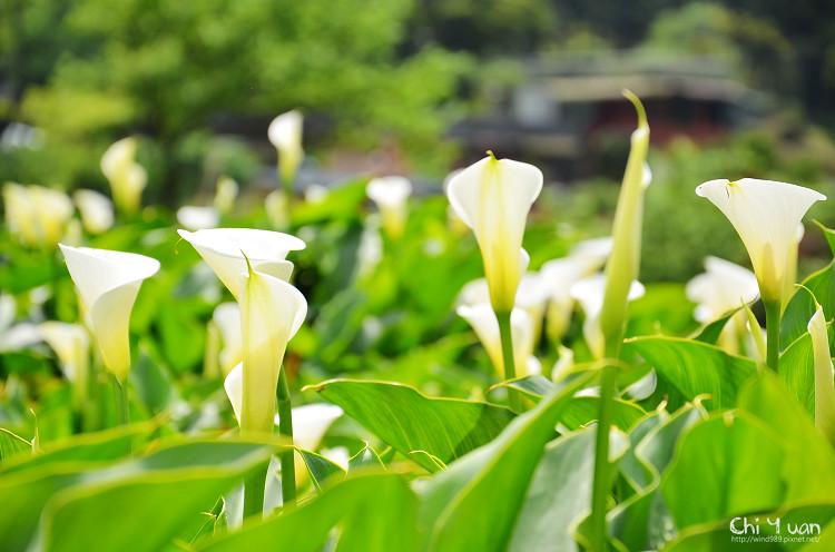 2012竹子湖海芋季07.jpg