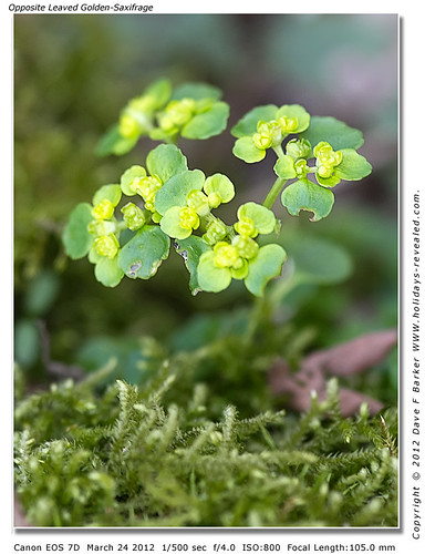 Opposite Leaved Golden Saxifrage Birkacre Yarrow Valley Chorley Lancashire